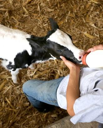 claf feeding