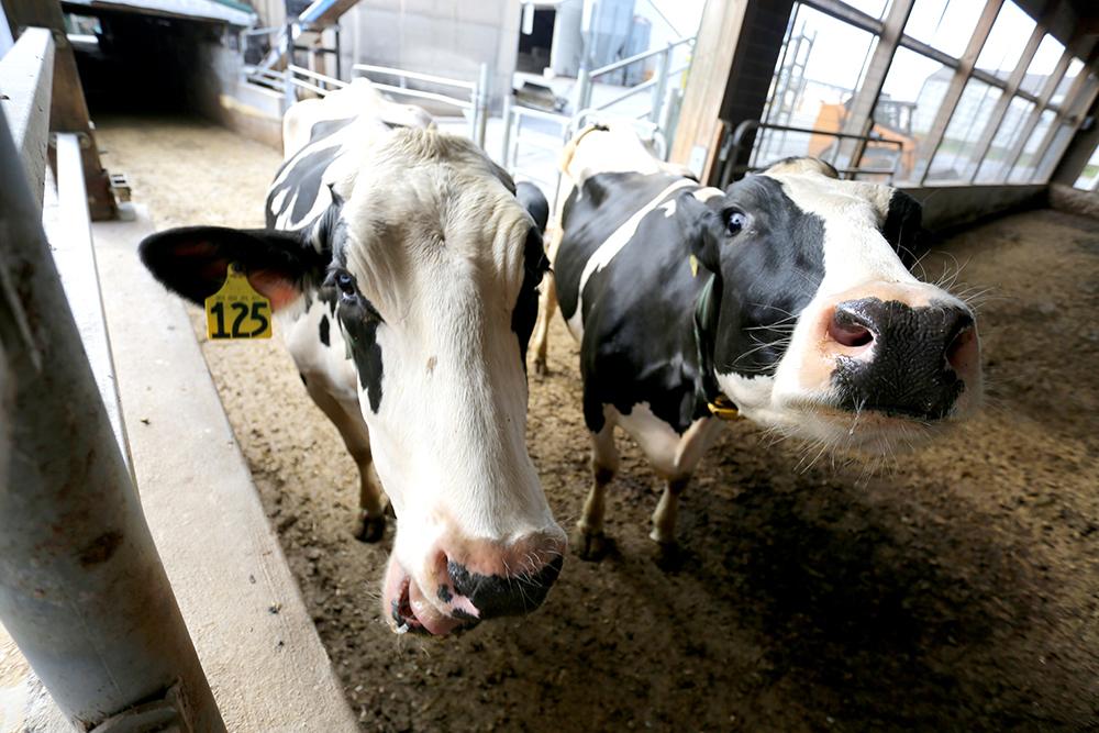 clover farms cows