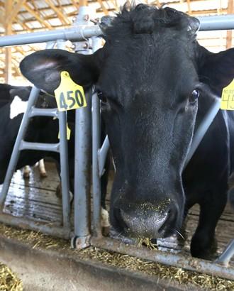 clover farms dairy cows